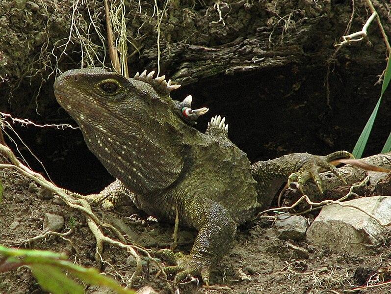 Bestand:Tuatara Sphenodon punctatus standing proud.jpg