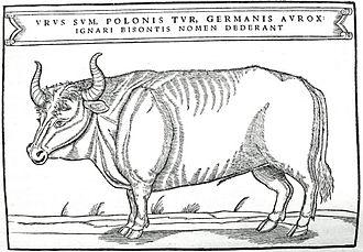 Aurochs - Image: Tur Z Herberstein pol XV Iw small