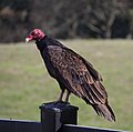 Turkey vultures (01736).jpg
