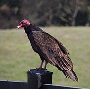 Turkey vultures (01736).jpg
