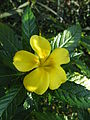Turnera ulmifolia 06.jpg