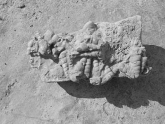 Turritella communis - Turritella communis fossils