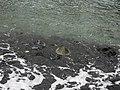 Turtles, Pu'uhonua o Honaunau National Historical Park, Honaunau, Hawaii (4529037035).jpg