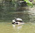 Turtles Cole Mill Eno River SP NC 3469 (5894344371).jpg