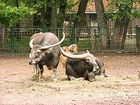 Two asiatic water buffalos in zoo tierpark friedrichsfelde berlin germany.jpg