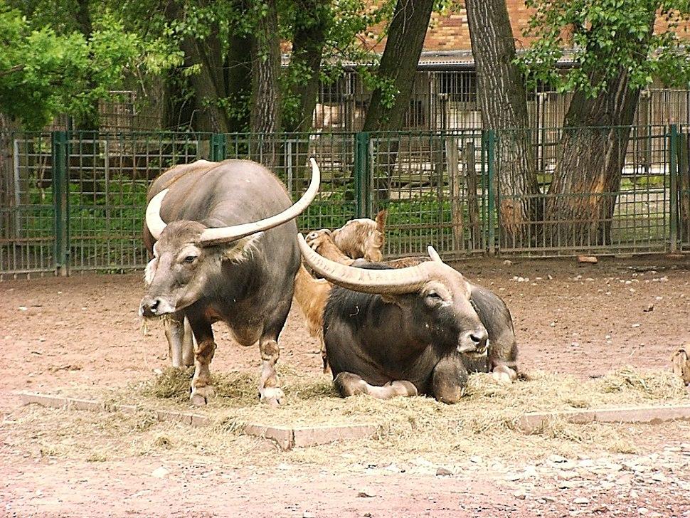 Two asiatic water buffalos in zoo tierpark friedrichsfelde berlin germany