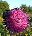 Two bees fast asleep on Musk Thistle - geograph.org.uk - 893823.jpg