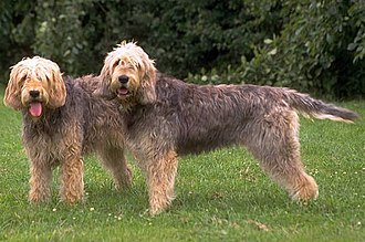 Otterhound - Otterhounds