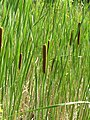 Typha angustifolia1.JPG
