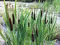 Typha latifolia (6008353104).jpg