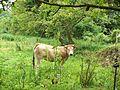 Typical cow from Asturias - Spain - panoramio.jpg
