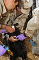 US Army provides Veterinary care, Afghanistan.jpg