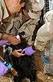 US Army provides Veterinary care, Afghanistan.jpg