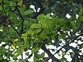 Udumbara (Bengali- উদুম্বর) (5221452020).jpg