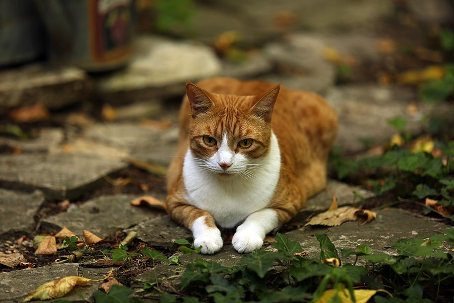 A tabby cat, red and white, lying on a garden soil.