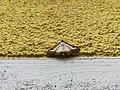 Unidentified-butterfly-20190610-145422.jpg