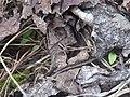 Unidentified brown little spider 01.jpg