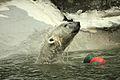 Ursus maritimus at the Bronx Zoo 020.jpg