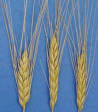 Emmer - Spikes (ears) of cultivated emmer wheat