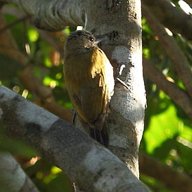 Veniliornis passerinus Little Woodpecker.JPG