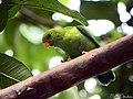 Vernal hanging parrot (Loriculus vernalis) (21217671029).jpg