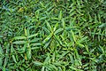 Veronica ligustrifolia in Christchurch Botanic Gardens 02.jpg