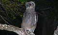 Verreaux's Eagle-Owl (Bubo lacteus) (6032663144).jpg