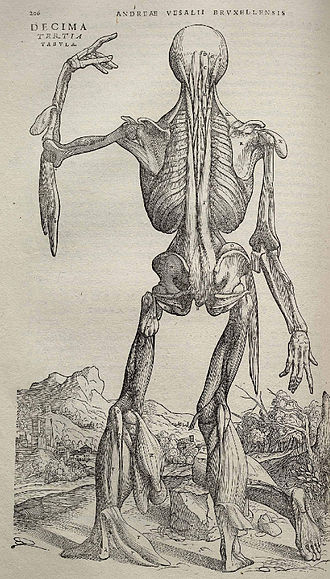 Biological illustration - Image from Andreas Vesalius's De humani corporis fabrica (1543), page 206