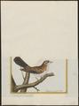 Vidua paradisea - 1700-1880 - Print - Iconographia Zoologica - Special Collections University of Amsterdam - UBA01 IZ15900111.tif
