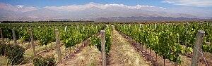 Vignoble à Mendoza