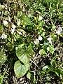 Viola alba subsp. scotophylla s. str. sl16.jpg