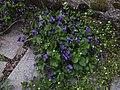 Viola odorata and Stellaria media.jpg