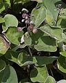 Vitex trifolia subsp. litoralis (fruits).jpg