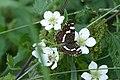 Vlinder landkaartje - araschnia levana Zweeloo.jpg