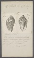 Voluta laevigata - - Print - Iconographia Zoologica - Special Collections University of Amsterdam - UBAINV0274 087 04 0024.tif