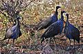 Vulturine Guineafowls (Acryllium vulturinum) (7662511202).jpg