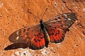 Ward's glorious acraea (Acraea pharsalus).jpg
