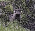 Warthog, Bale (11905088053).jpg
