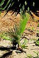 Washingtonia filifera in Jardin des plantes de Montpellier.jpg