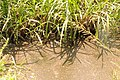 Wastewater inflow to the constructed wetland (slaughterhouse, Gitega) (6908561869).jpg
