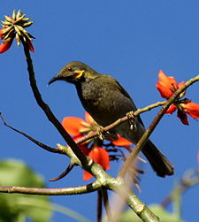 Wattled Honeyeater taveuni jun08.JPG