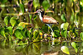 Wattled Jacana(imm) - Gallito de laguna (juvenil) (Jacana jacana) (10895106686).jpg