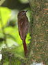 Wedge-billed Woodcreeper.jpg