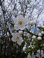 Weiße Blüten.JPG