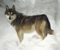 West Siberian Laika x Gray Wolf.png