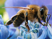 Bee learning and communication - Wikipedia, the free encyclopedia
