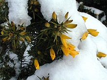 Whin or Gorse on Fife Coastal Trail.jpg