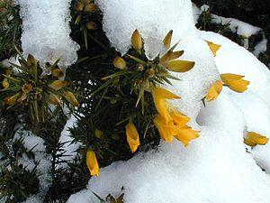 ulex europaeus tojo u planta ornamental