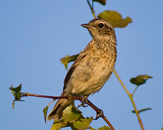 Whinchat - Juvenile. Dubna, Russia