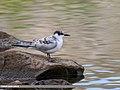 Whiskered Tern (Chlidonias hybrida) (36908503886).jpg
